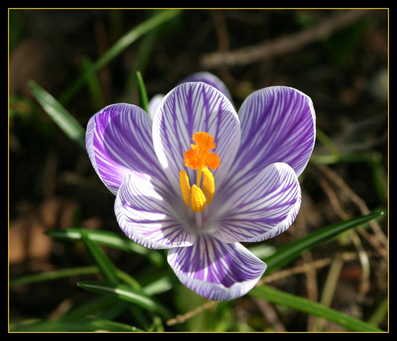 Krokus...edle Blüte