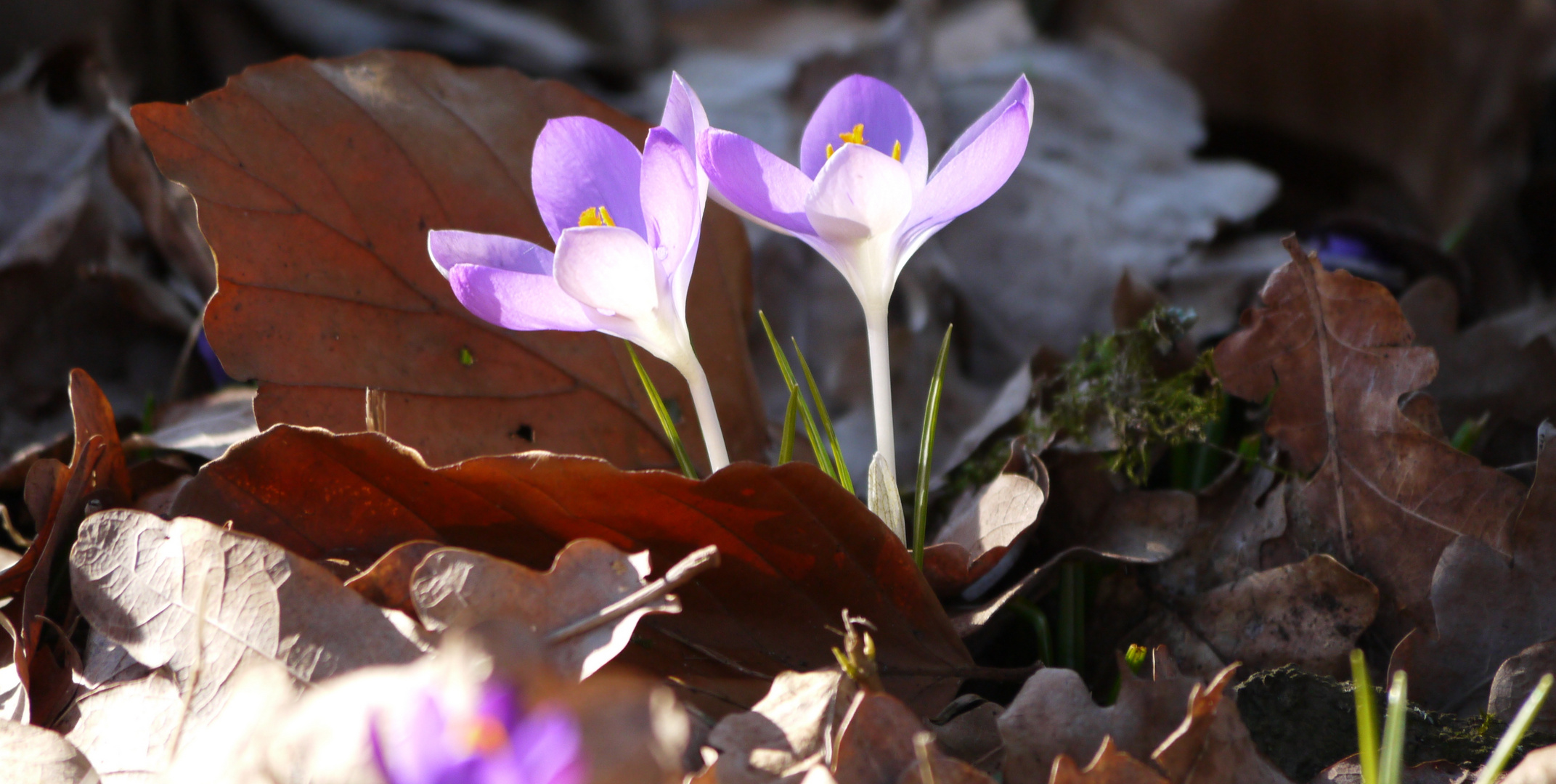 Krokus+Krokus = Frühling