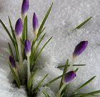 Krokusse brechen auf zum Frühling