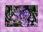 ~~~~~~~~~~~~~~~~~~ Krokusse im Frühling ~~~~~~~~~~~~~~~~~~~