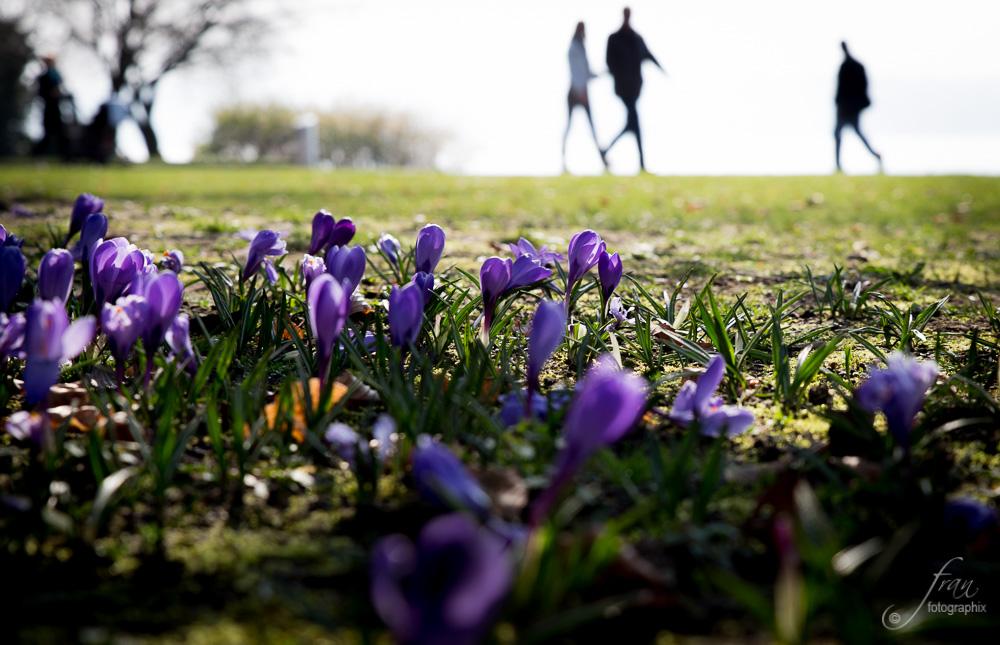 Krokusse im Park
