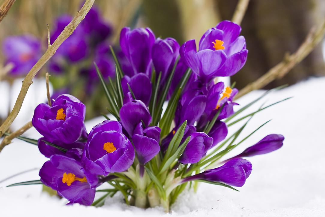 krokusse im schnee 1 foto bild pflanzen pilze flechten bl ten kleinpflanzen. Black Bedroom Furniture Sets. Home Design Ideas