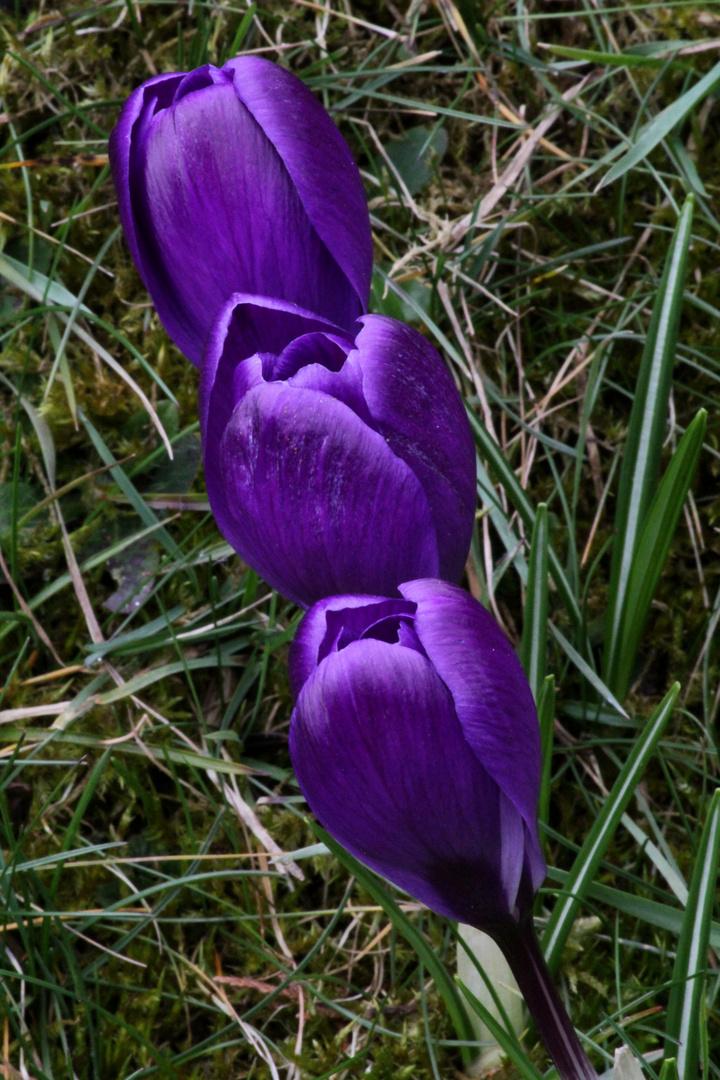 Krokusse im Vorfrühling