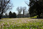 Krokusse im Wörlitzer Park