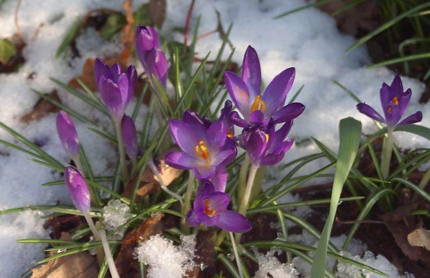 Krokusse in Hamburg, 8. März 2004, 13.21 Uhr