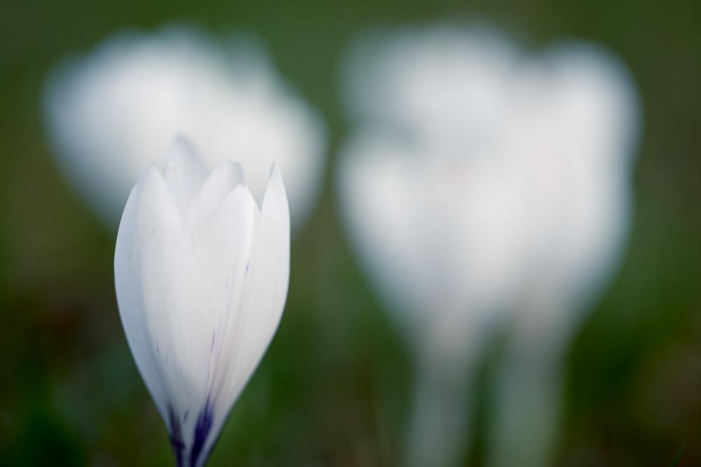 Krokusse in Weiß