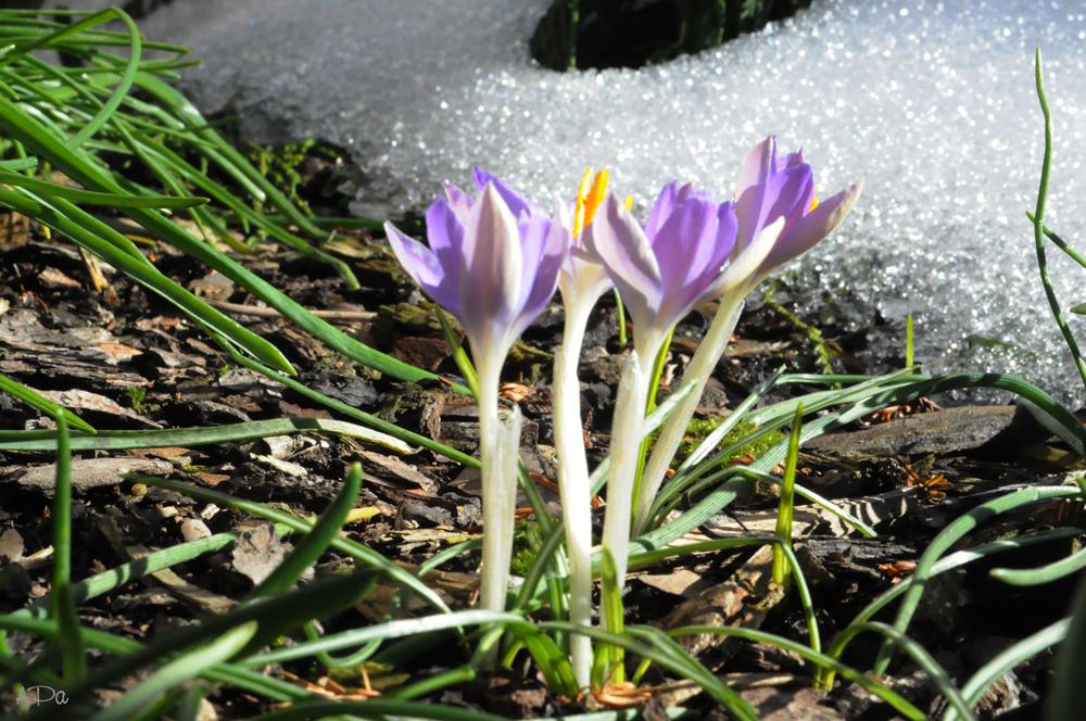 Krokusse mit Schnee (2)