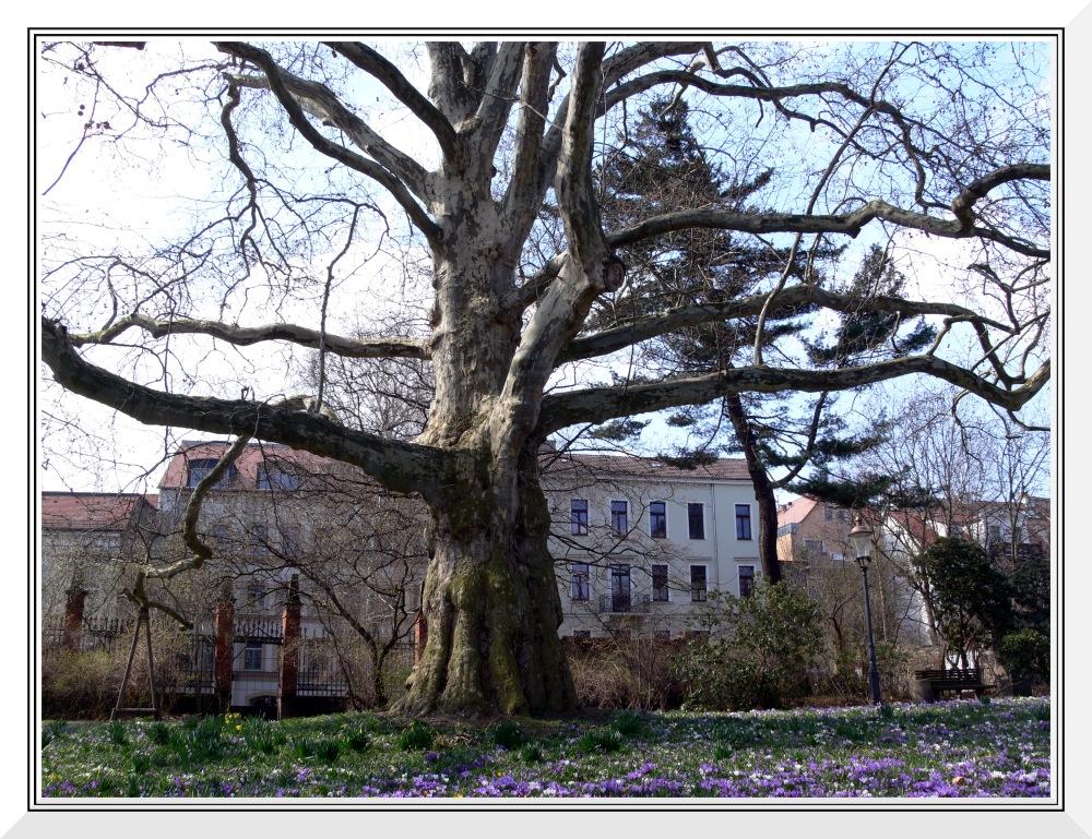 Krokuswiese am knorrigen Baum