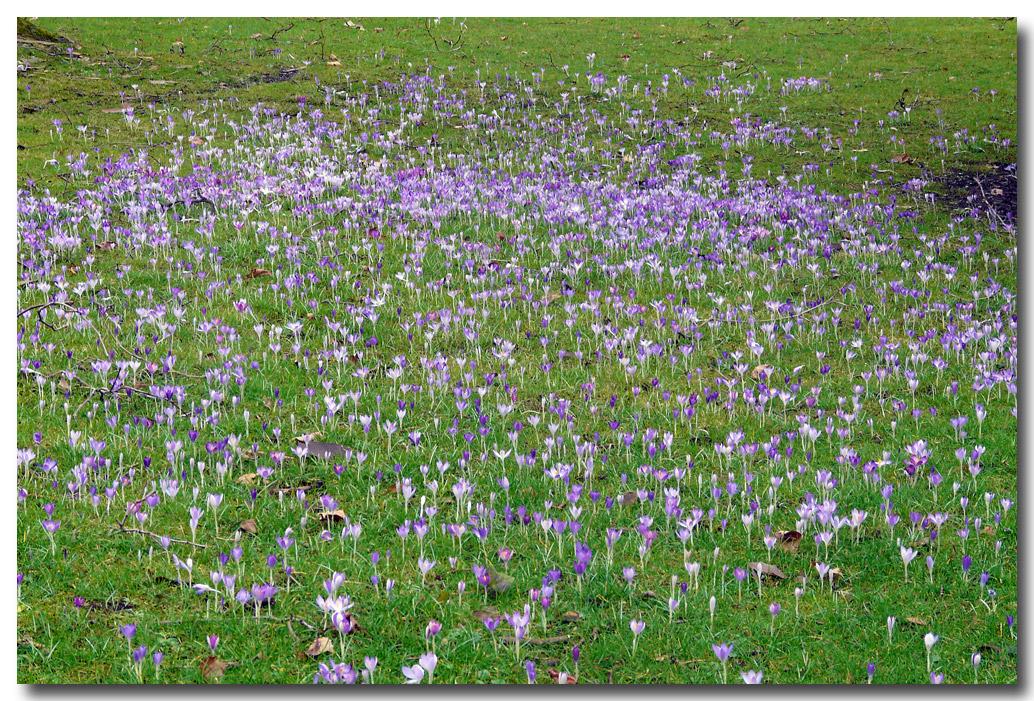 Krokuswiese - Flora Köln
