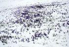 Krokuswiese im Neuschnee