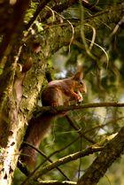 Kronberger Eichhörnchen