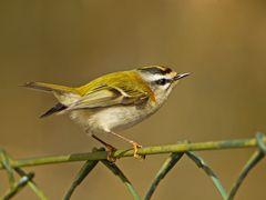 Krone, Zaun, und kleinster Vogel Europas ...