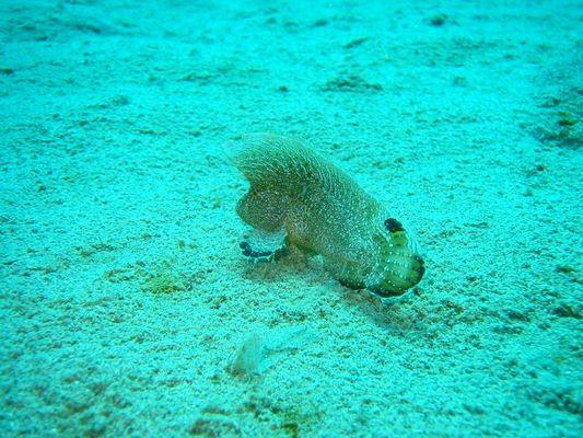 Kronen-Samtfisch