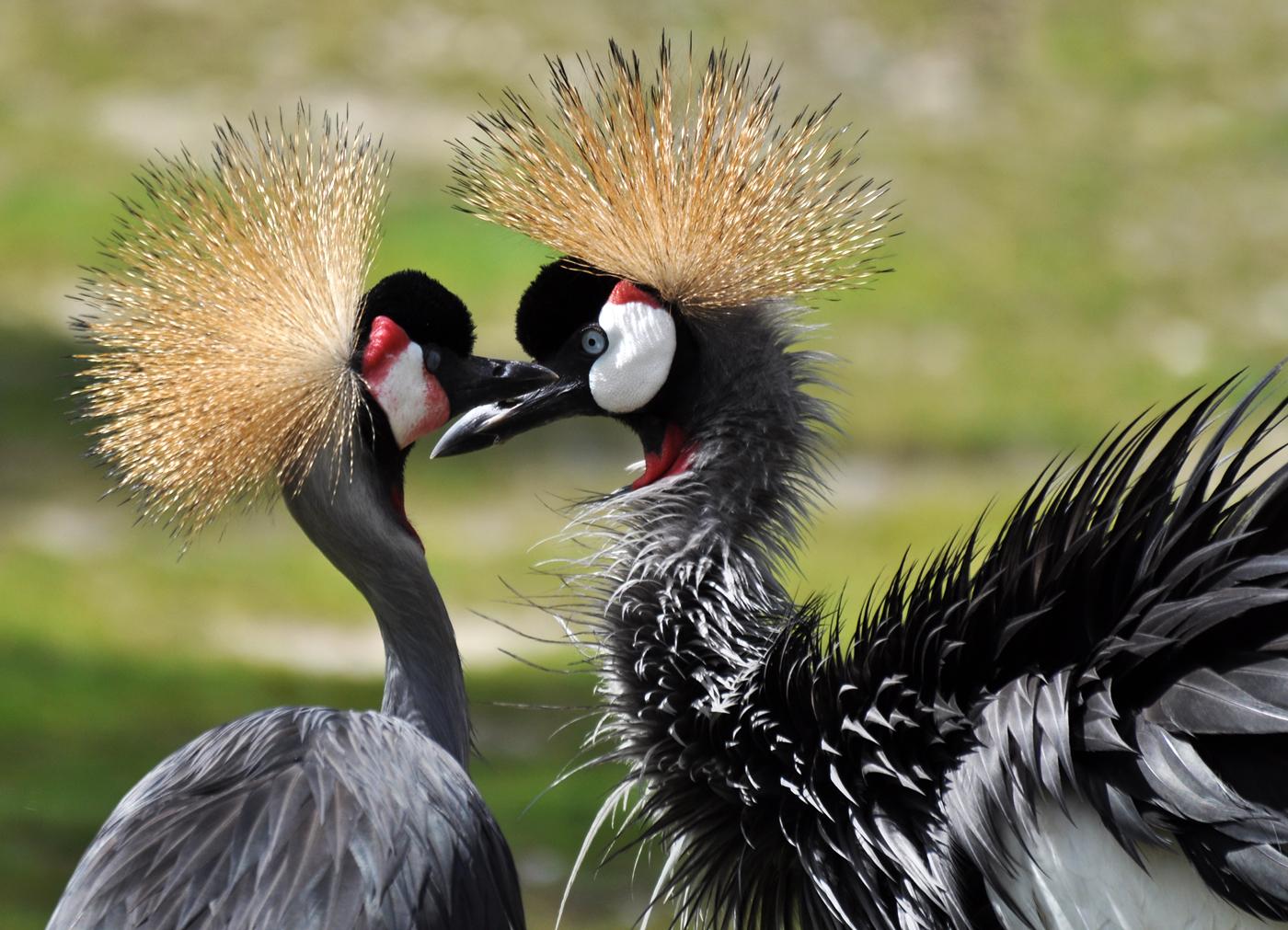 Kronenkranich - Paar