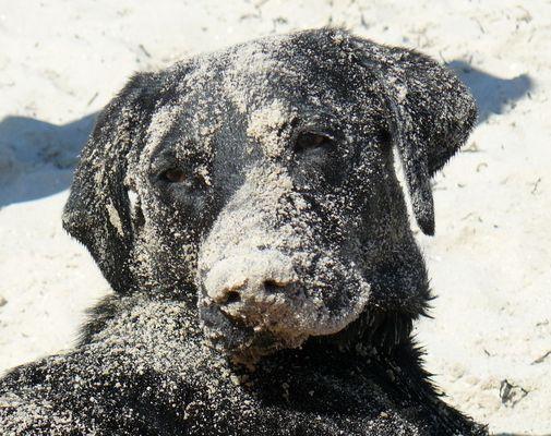 Krümmellabrador Banny im Sand
