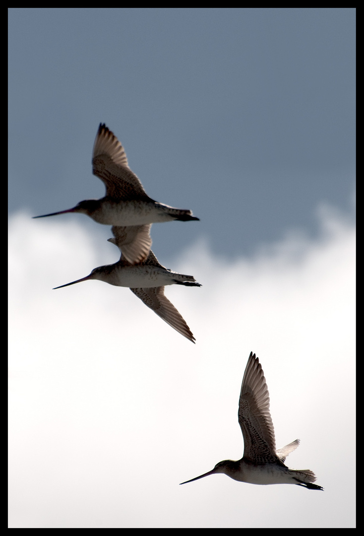 Kuaka, the bar-tailed godwit ( flying)