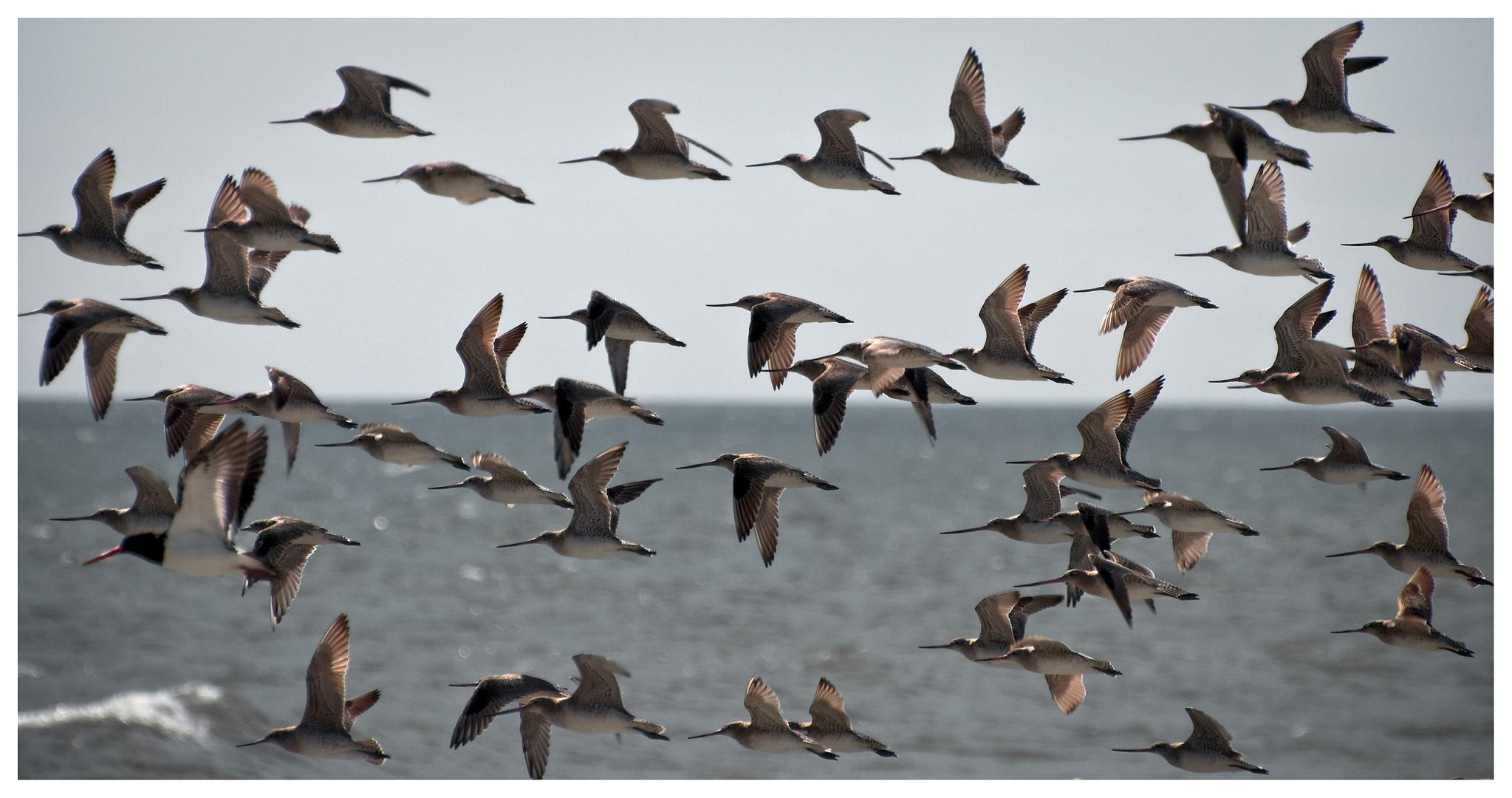 Kuaka, the bar-tailed godwit ( group flying )