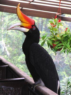 Kuala Lumpur - Bird Park - Hornbill 1