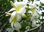 Kuala Lumpur - Titiwangsa Lake Garden - Frangipani-Plumeria