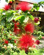Kuala Lumpur - Titiwangsa Lake Garden - Wonderful flower