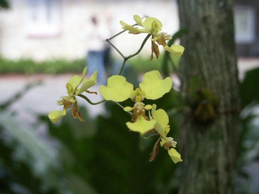 Kuba Gelbe Orchideen
