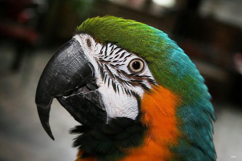 Kuckkuck.... nee... Papagei