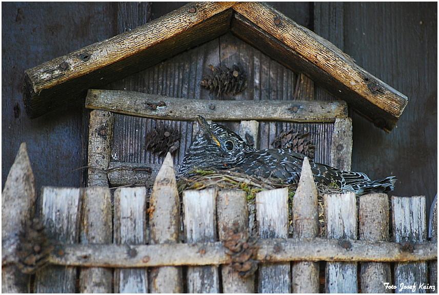 Kuckuck im Nest einer Gartengrasmücke