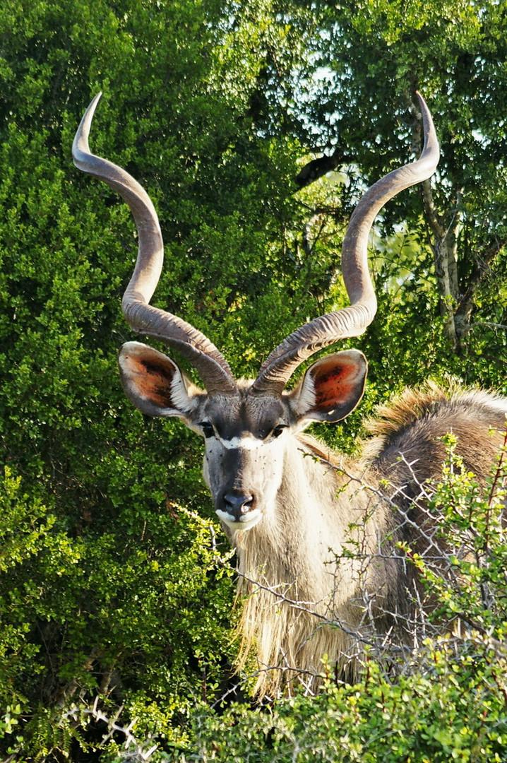 Kudu-Antilope in voller Pracht