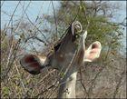 Kudu-Dame