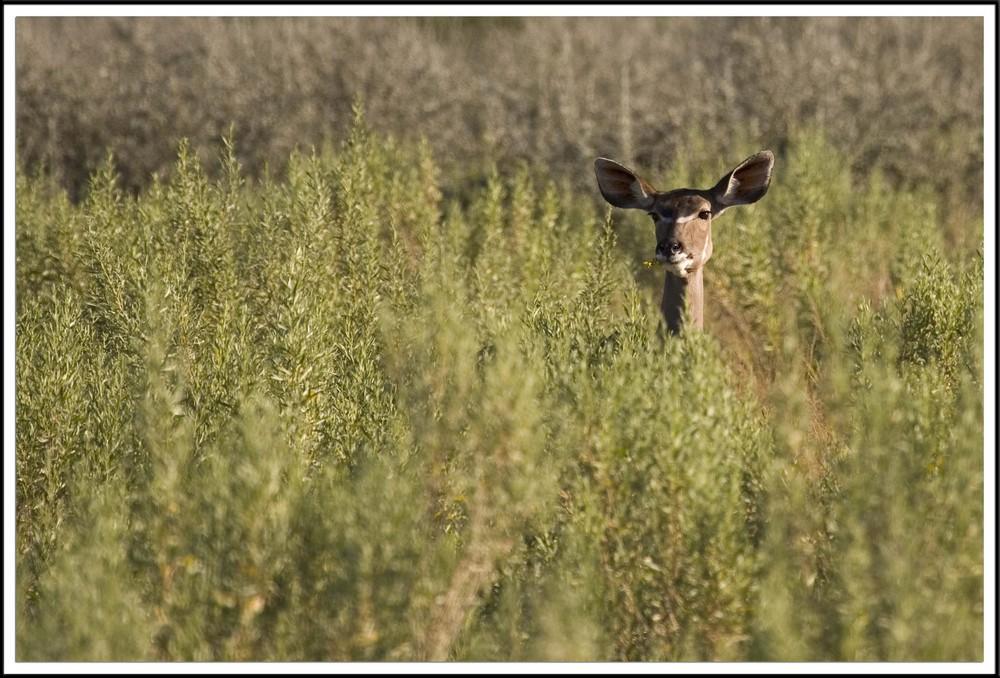 Kudu femelle, Namibie