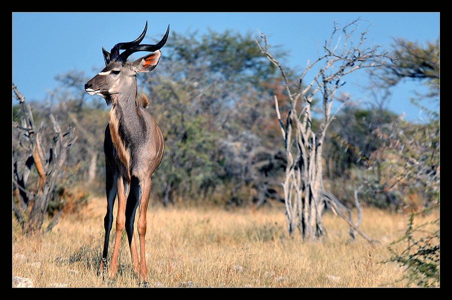 Kudu im Abendlicht