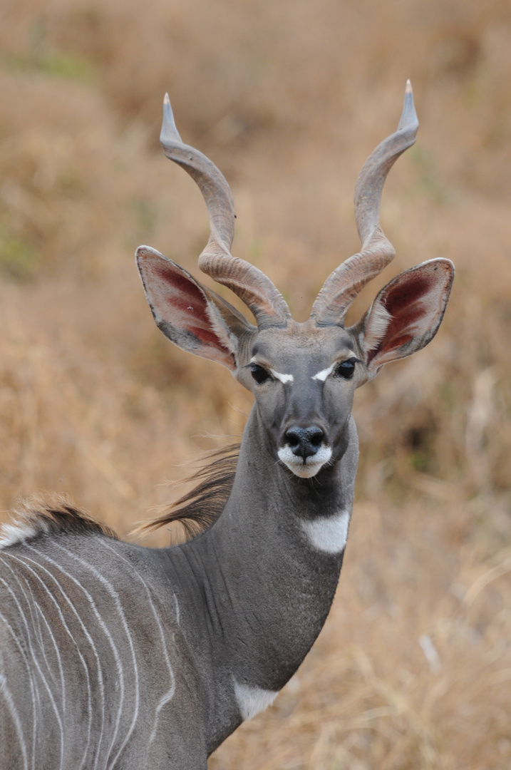 Kudu in Kenia