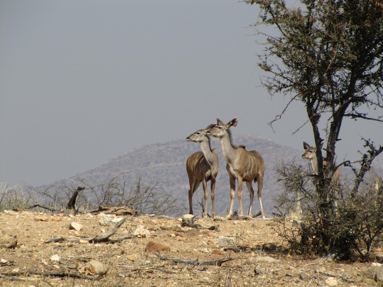 Kudu Kuh und Kalb 2