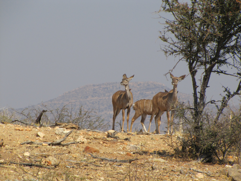 Kudu Kuh und Kalb