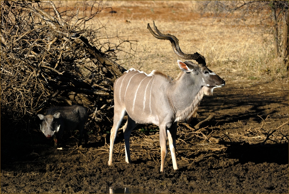 Kudu und Warzenschwein
