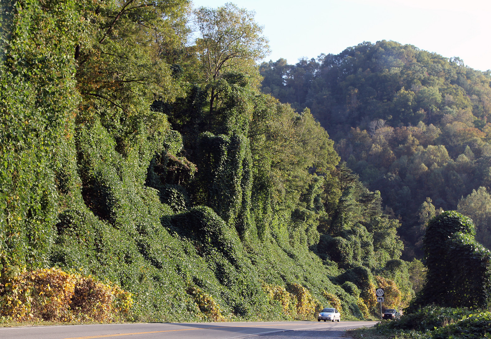 Kudzu (Pueraria montana) erobert als Invasive Art Amerika, hier: West Virginia , USA