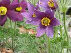 Küchenschelle Frühlingsblume