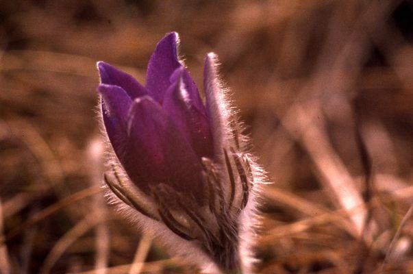 Kühchenschelle auch eine Frühlingsblüte auf kalkboden