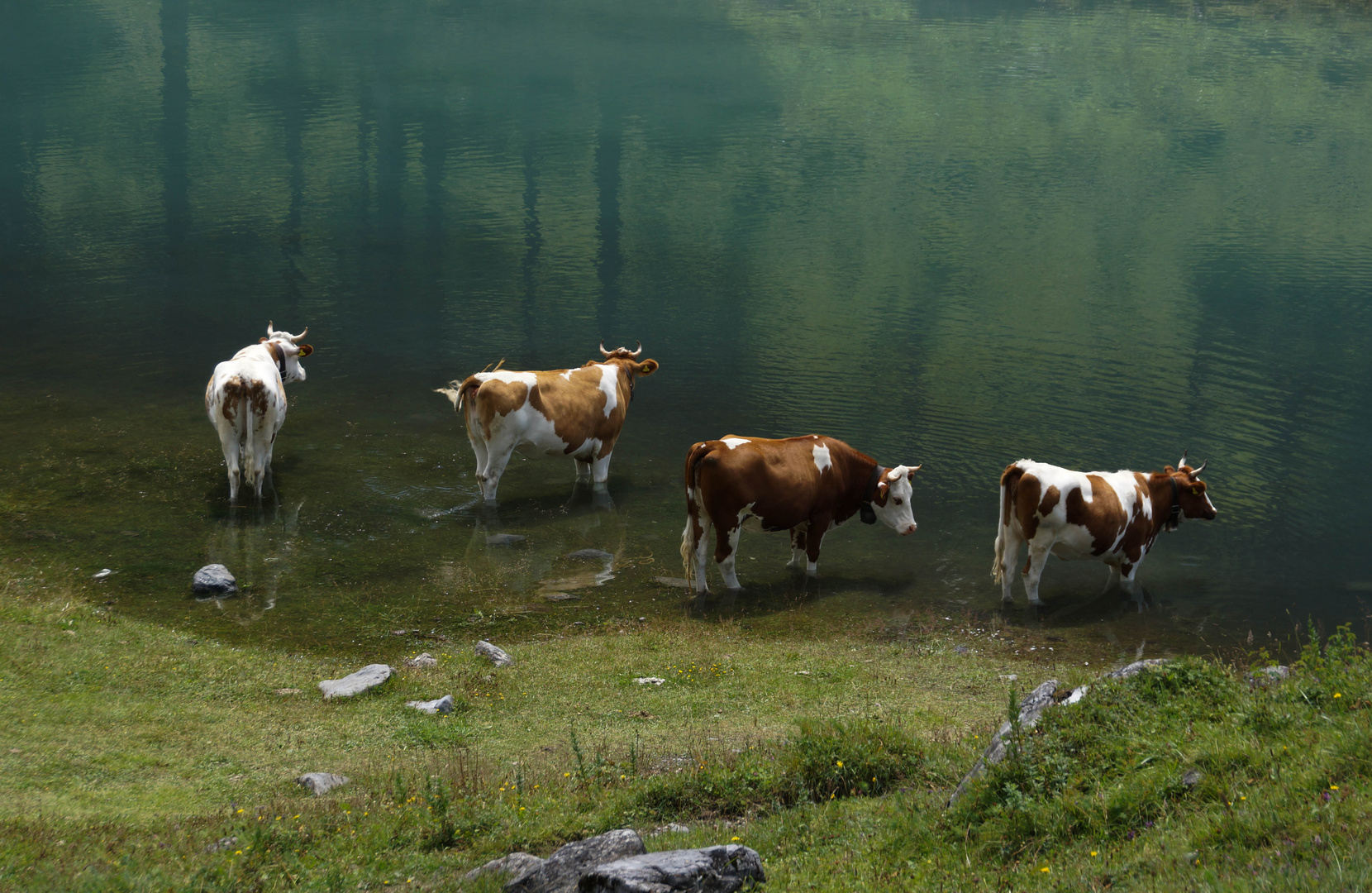 Kühe am Oeschinensee