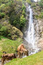 Kühe am Patschinser Wasserfall