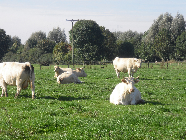Kühe an einem schönen Herbsttag