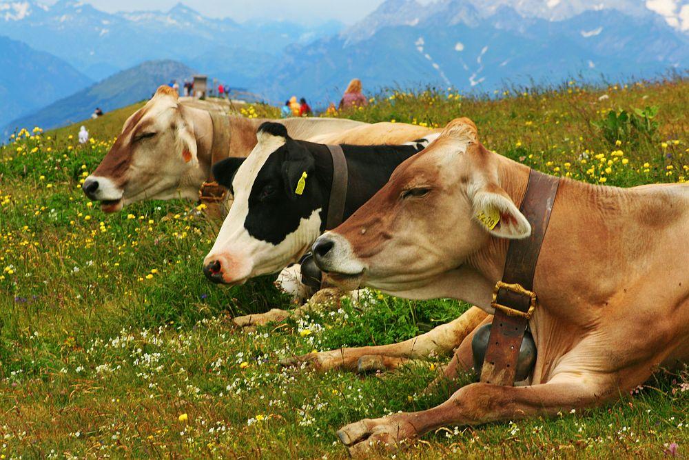 Kühe auf dem Monte Baldo