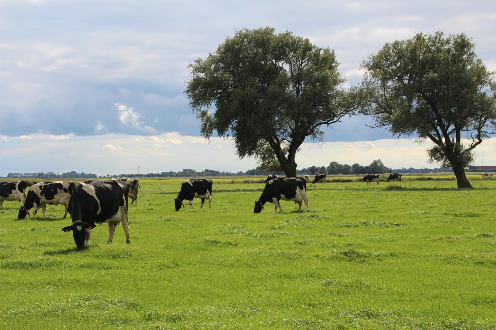 Kühe bei der Arbeit