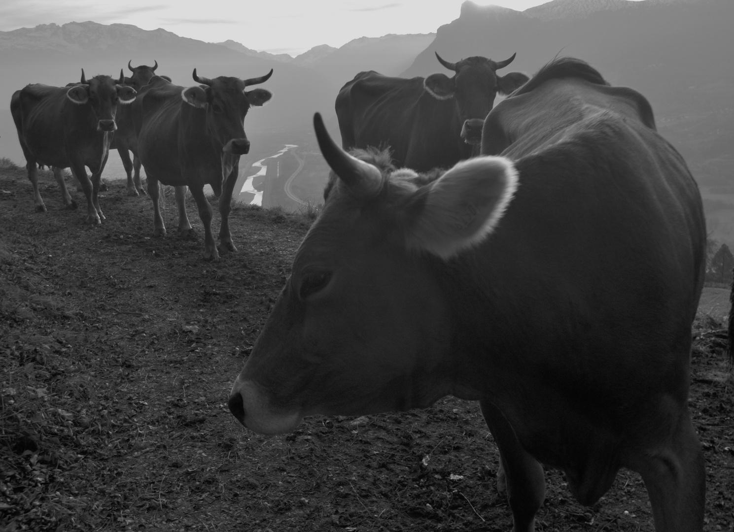 Kühe beidseits des Rheins