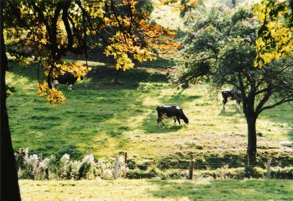 Kühe beim Sonnen