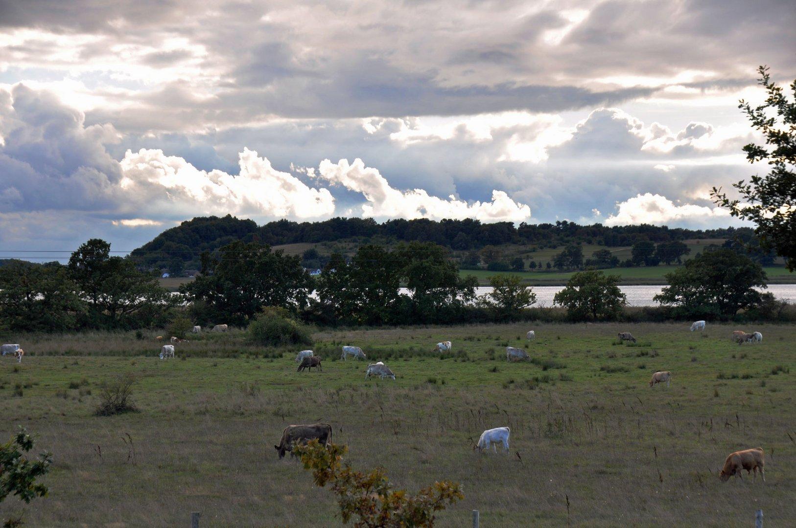 Kühe im Herbst