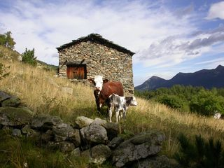 Kühe im Piemont