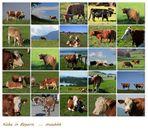 Kühe im schönen Bayern