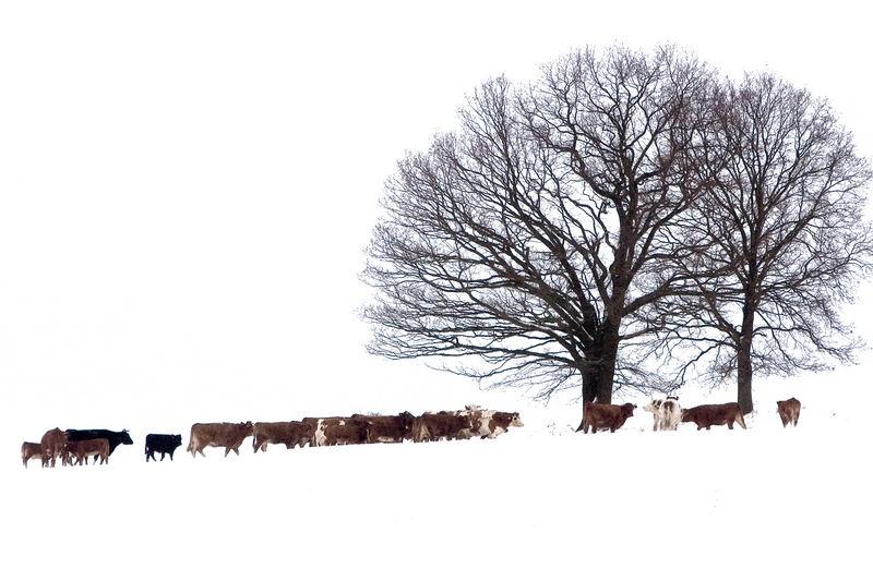 Kuehe im Winter
