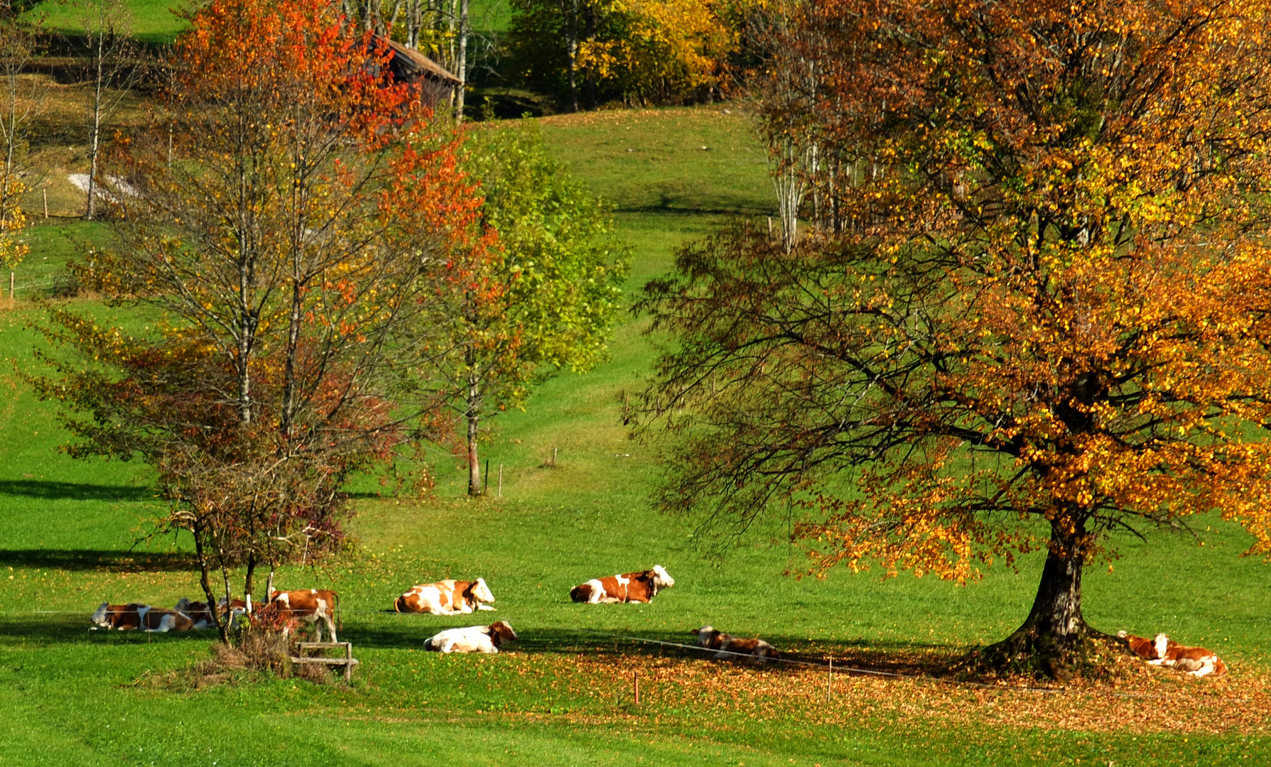 Kühe in der Herbstsonne